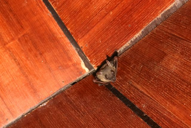 bat on the wooden ceiling in the house