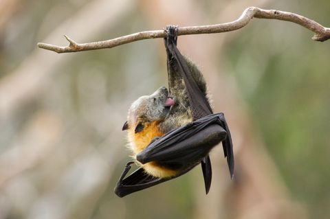 Bat Licking Itself