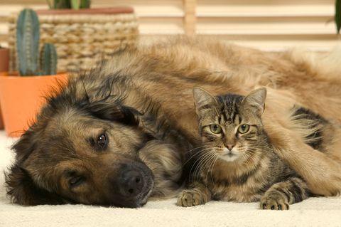 Batard dog and tabby cat, Felis catus