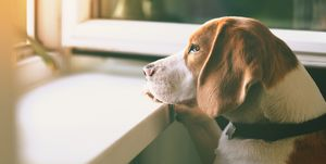 Beagle dog waiting