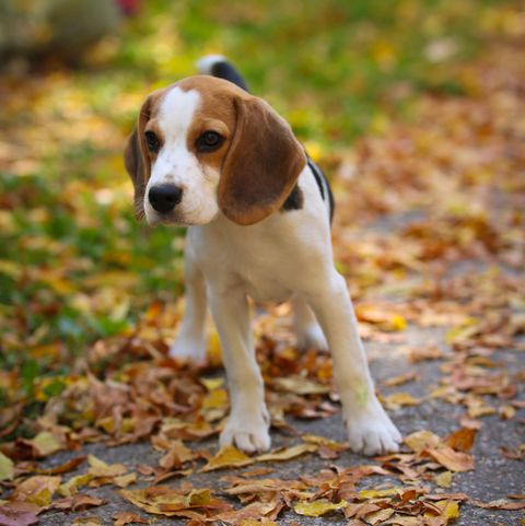 Beagle in the park