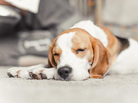 chiot beagle dormir