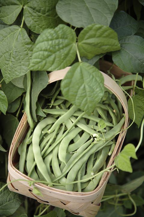 basket of fresh picked green beans