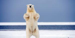 Friday 27th February Is International Polar Bear Day