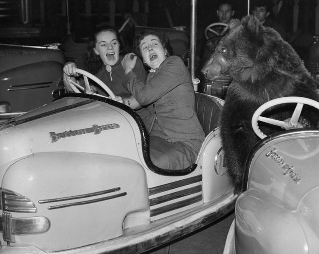 two dodgem car passengers are surprised to see susie the circus bear bumping into them at the fun fair attached to bertram mills circus in olympia, london   photo by william vandersongetty images