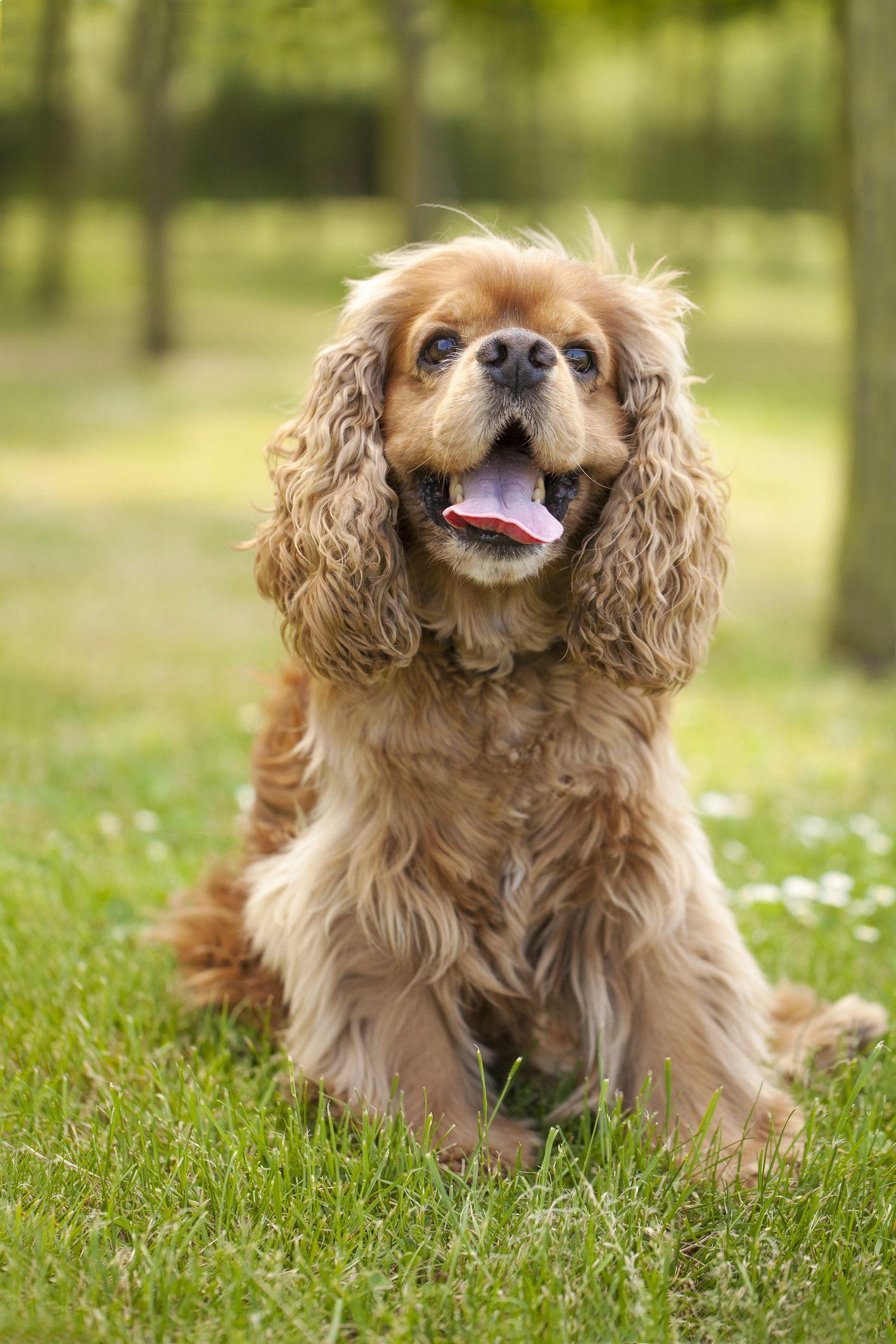 Beautiful american cocker spaniel dog