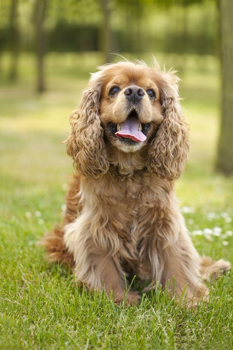 Beautiful american cocker spaniel dog