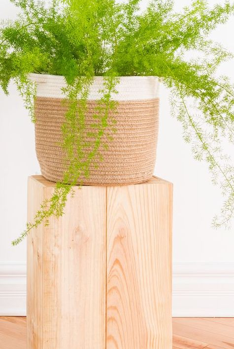 Beautiful Asparagus fern plant in a basket