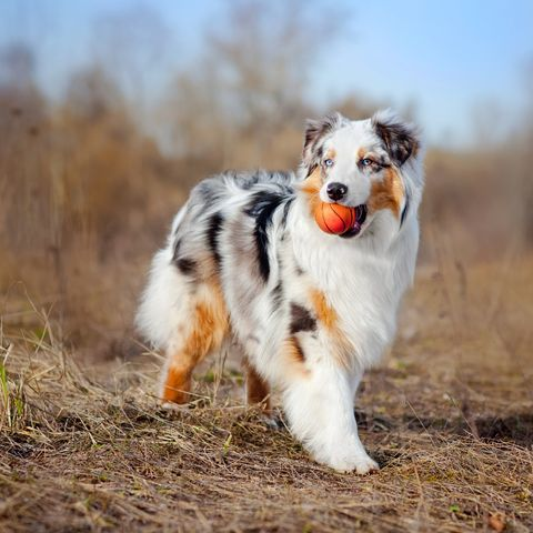 Beautiful Australian Shepherd walking