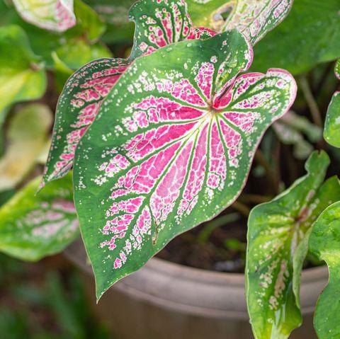 beautiful caladium bicolor or queen of the leafy plants