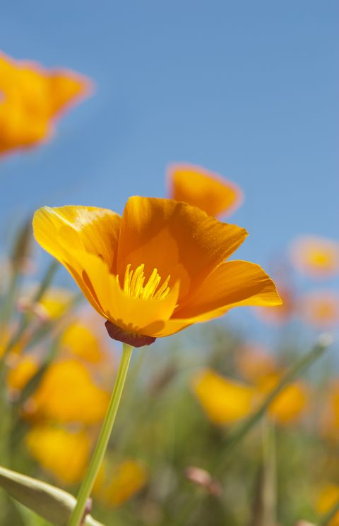 Beautiful California Golden Poppy