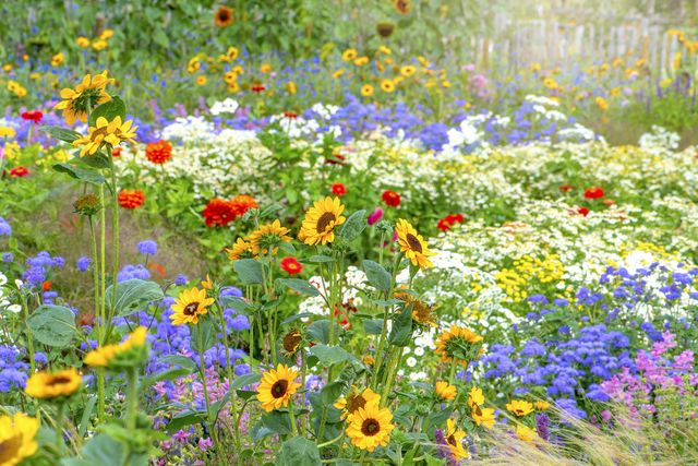 beautiful, colourful flowers in an english cottage summer garden with sunflowers, zinnia and grasses in soft sunshine
