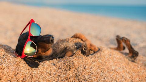 teckel chillt op het strand