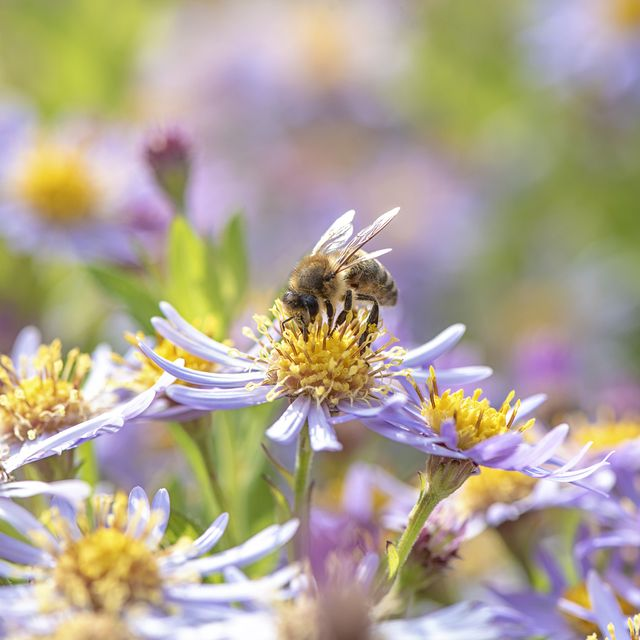 beautiful late summer flowering aster flowers also known as symphyotrichum or michaelmass daisy with a honey bee collecting pollen