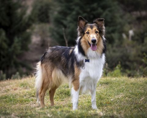 beautiful long haired rough collie dog in nature setting