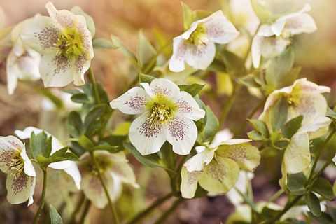 beautiful spring flowering hellebore flowers also known as lenten roses or christmas roses