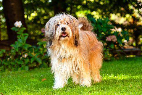 beautiful tibetan terrier dog standing on a sunny grass