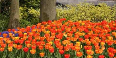 Flower, Flowering plant, Plant, Tulip, Spring, Orange, Botany, Botanical garden, Plantation, Petal,