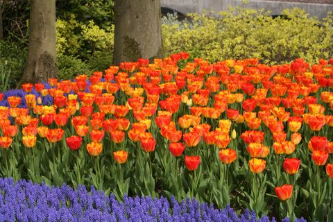 How To Plant Tulips How To Care For Tulips