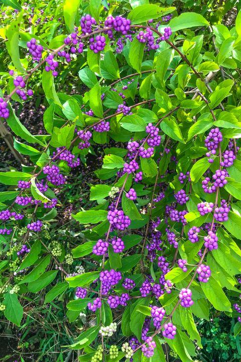 yokohama september 9, 2019 小紫 /コムラサキ /紫珠  callicarpa dichotoma
