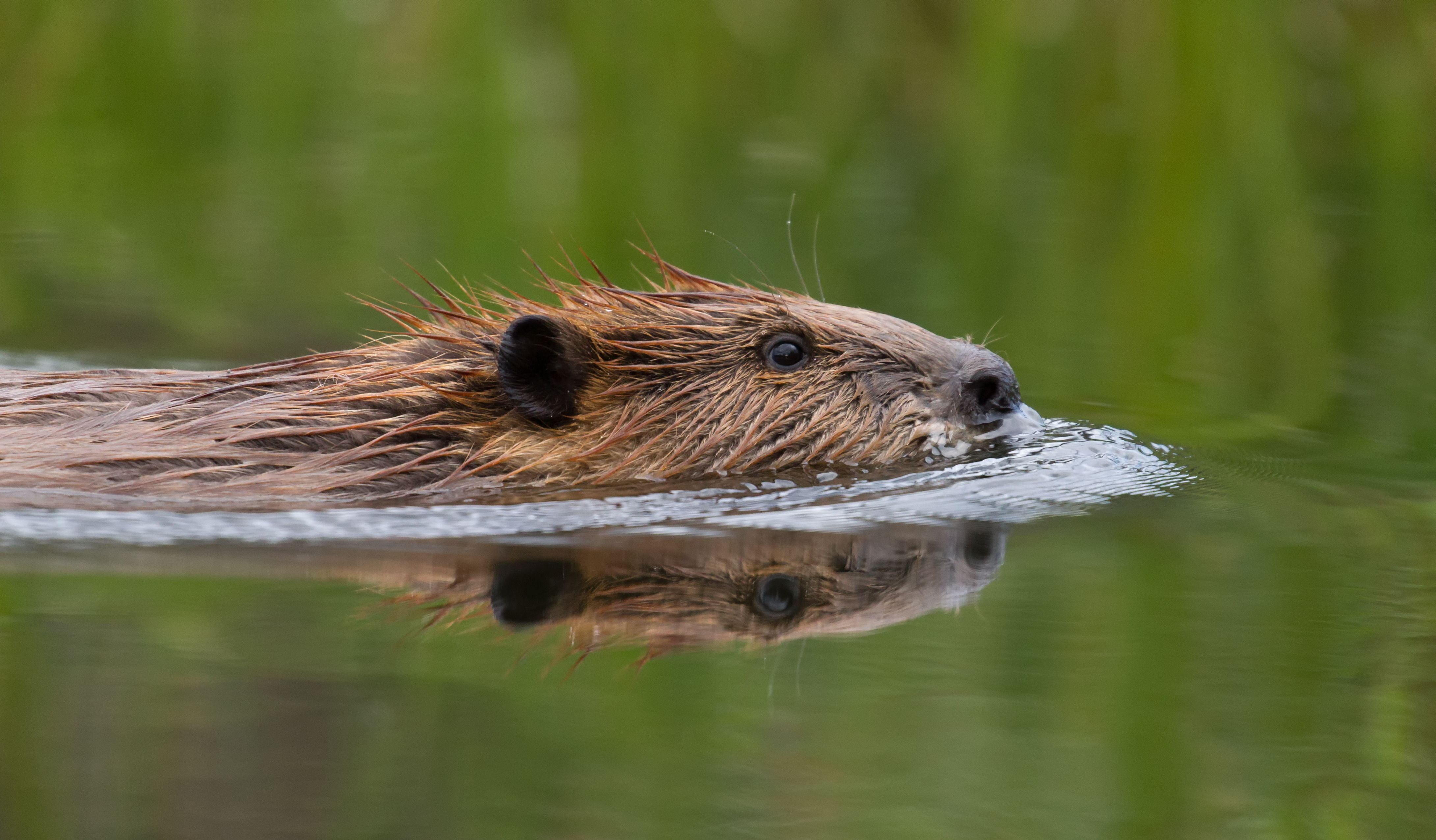 Meet the only beaver species in China, cute and intelligent - CGTN | 2551x4361