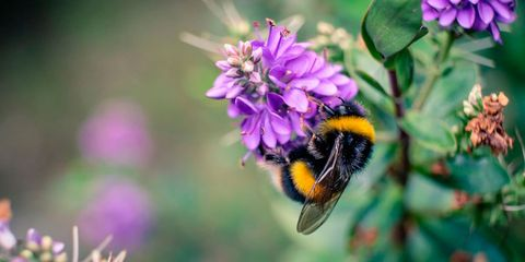 Bee, Honeybee, Bumblebee, Insect, Membrane-winged insect, Flower, Pollinator, Hornet, Invertebrate, Plant,
