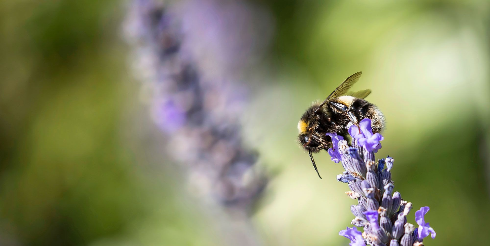 Everything you can do to attract honey bees into your garden and halt their decline in the UK