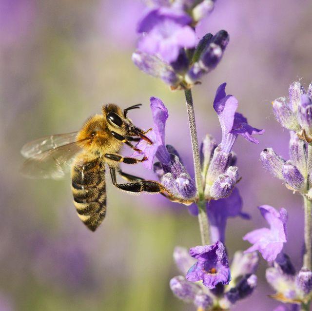 Bee pollinating lavender flower, Tihany, Hungary