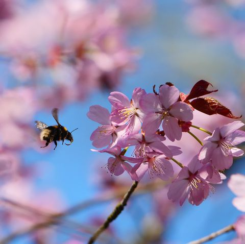 national trust launches blossomwatch to emulate japan's hanami