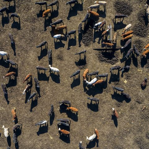 beef cattle from above