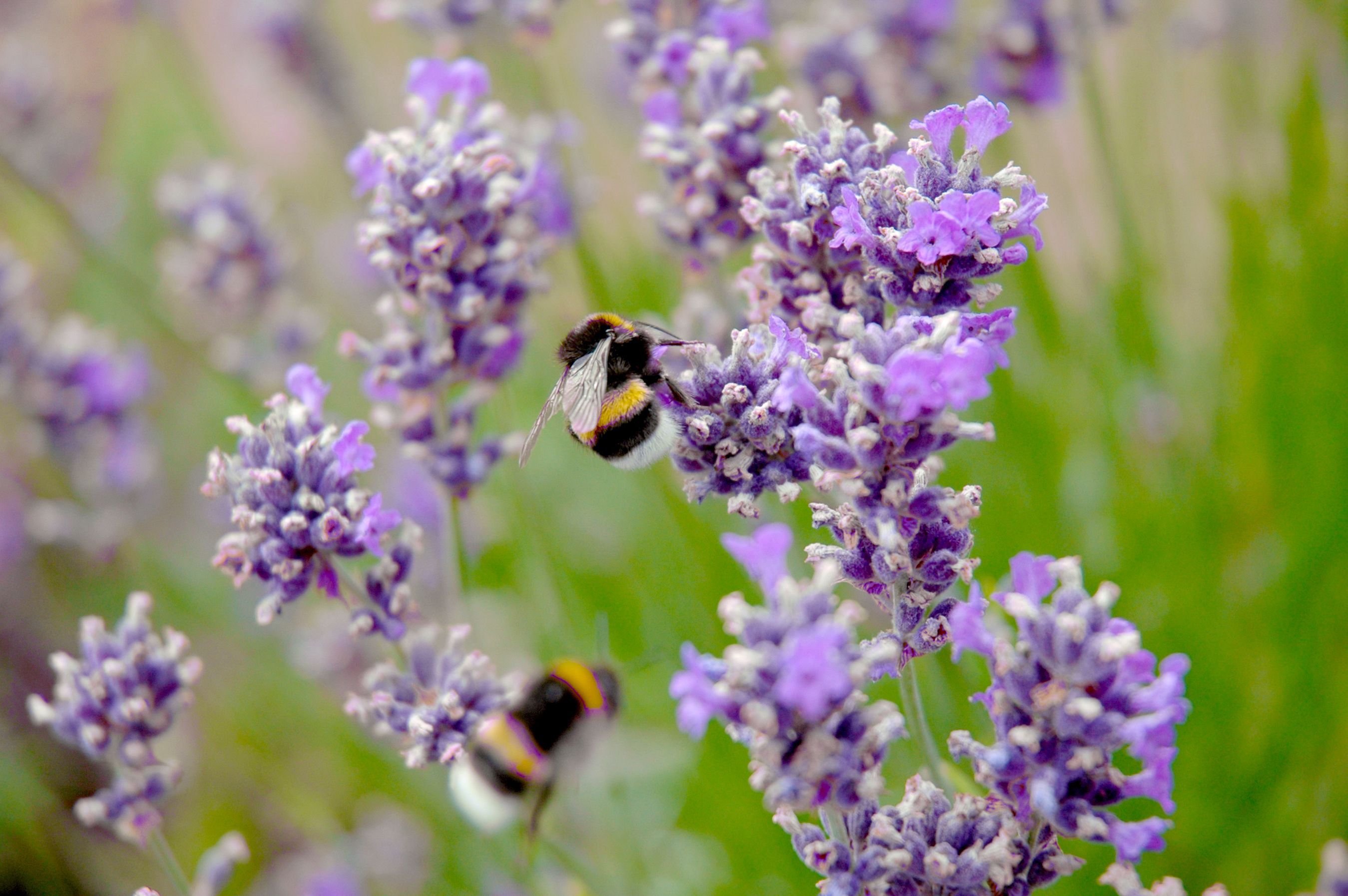 6 garden herbs that will help attract bees into your garden
