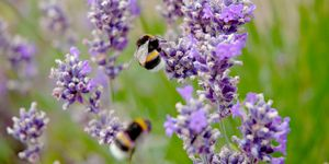 Bees on lavender bush in the garden