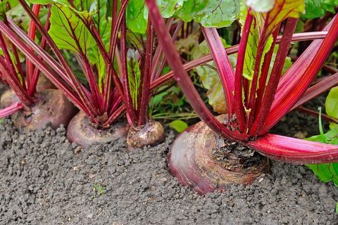 How To Grow Beets Tips For Planting Beets