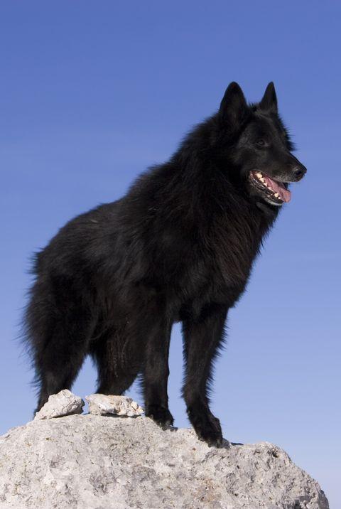 Best Large Dog Breeds