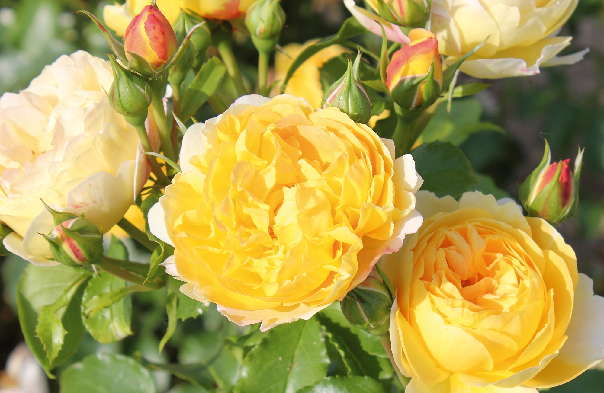Fragranced yellow rose 'Belle de Jour' is Rose of the Year for 2021
