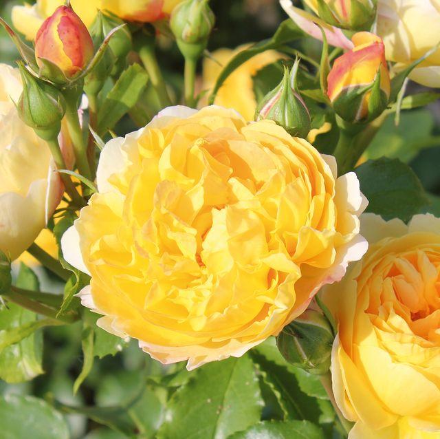 rose 'belle du jour' named as rose of the year 2021