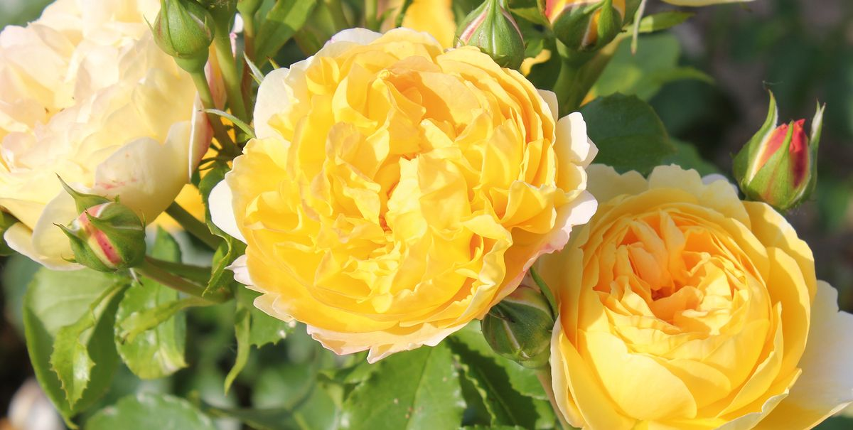'Belle de Jour' is Rose of The Year 2021 - Yellow Rose