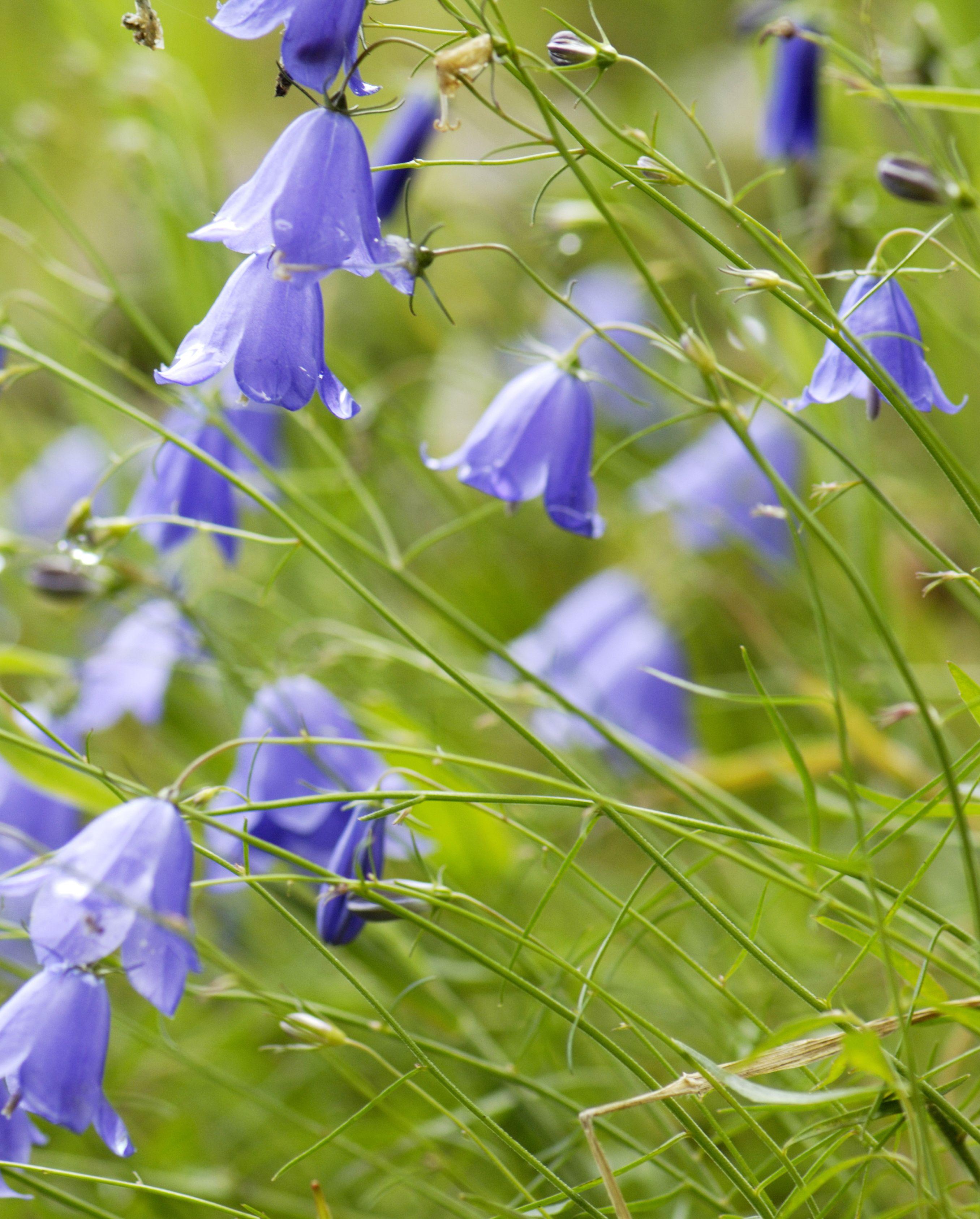 Bellflower, Campanula rotundifolia, close-up