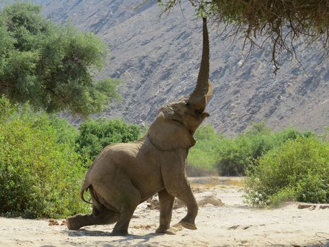 bellowing elephant on sand by plants and mountain