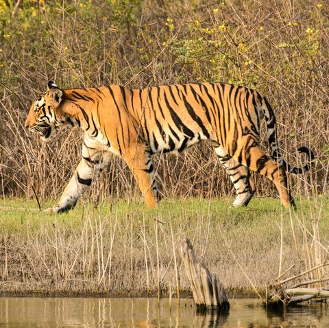 Safari holidays - tigers in india, Nagarhole National Park, Karnataka, India