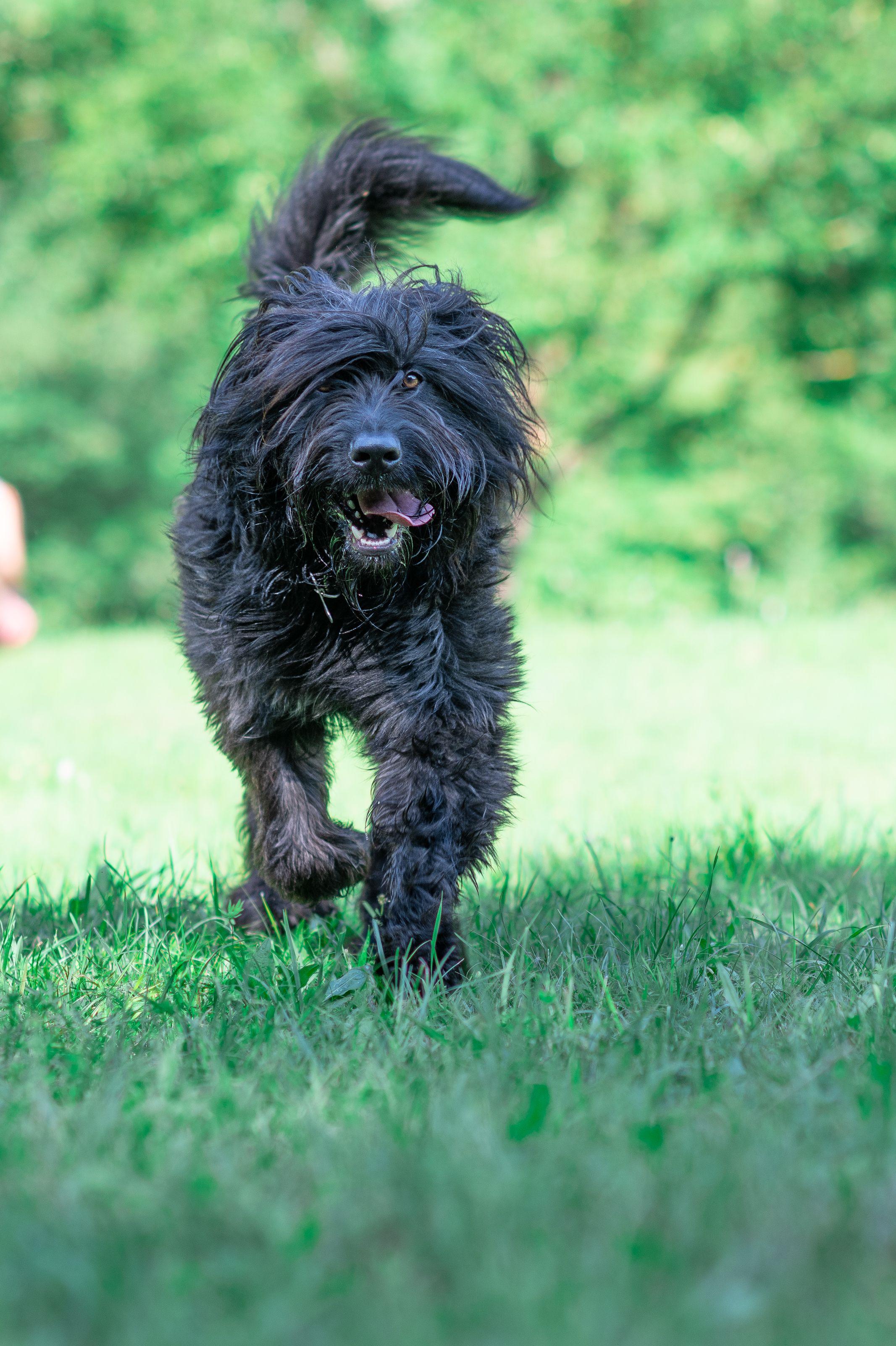 Bergamasco- rare dog breeds