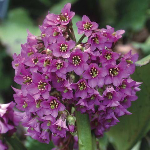 Plantas con flor: La Berginia