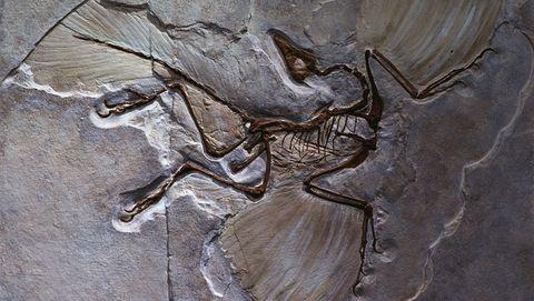 Fossiel vanArchaeopteryx