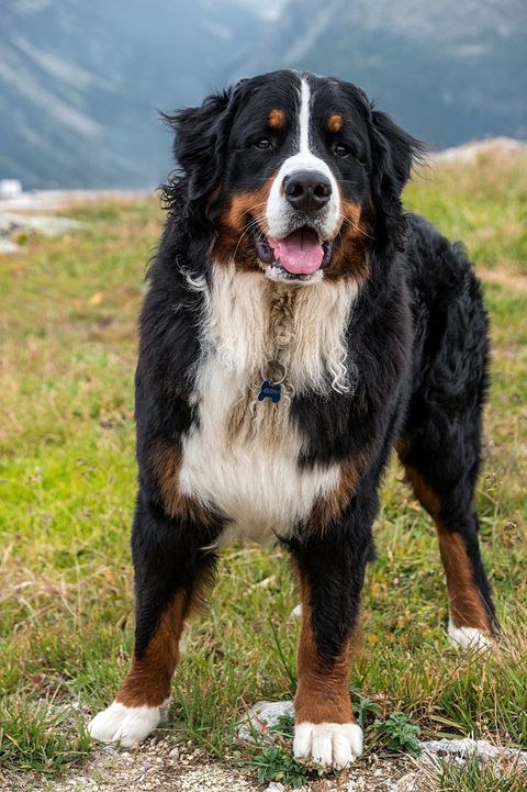 Dog, Mammal, Vertebrate, Dog breed, Canidae, Bernese mountain dog, Carnivore, Giant dog breed, Greater swiss mountain dog, Sporting Group,