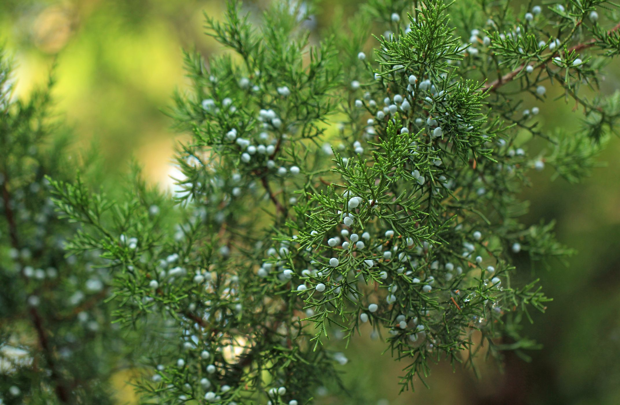 Good news for gin-lovers as juniper plant numbers are on the rise in the UK