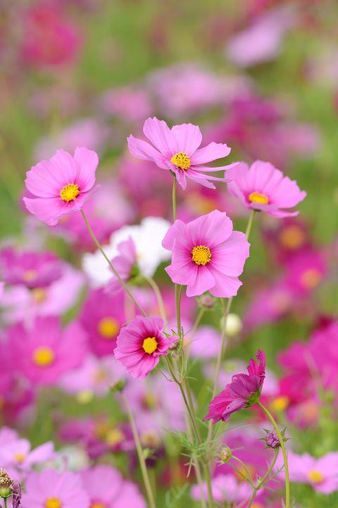 15 best annual flowers annual flowers list best annual flowers mightylinksfo