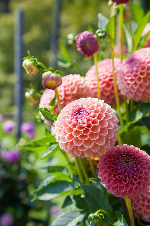 15 Best Annual Flowers Annual Flowers List