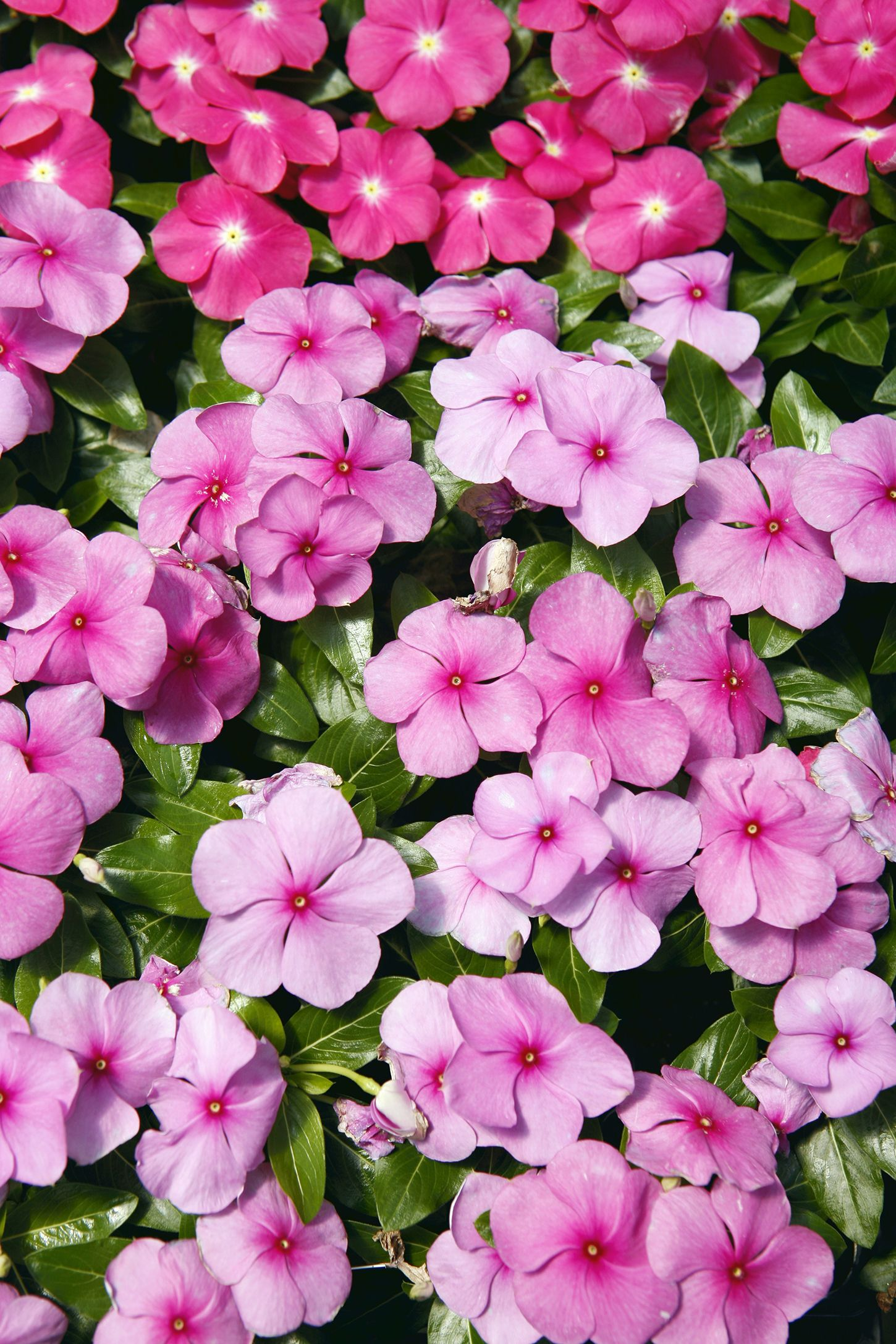 15 Best Annual Flowers , Annual Flowers List