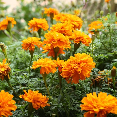 bring orangey yellow marigold flowers