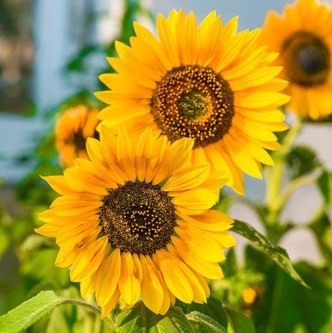 a closeup photo of bright yellow sunflowers